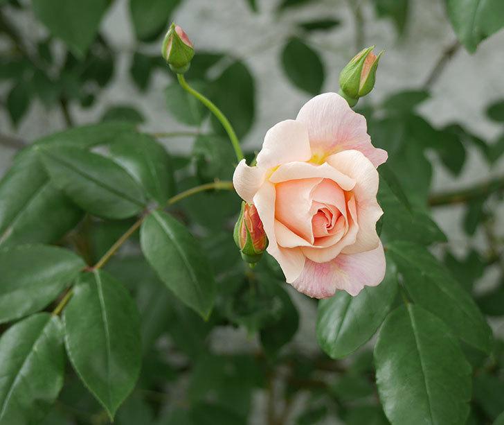 ロココ(ツルバラ)が咲いた。2018年-3.jpg