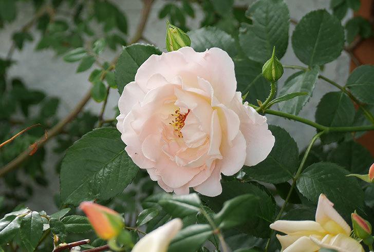 ロココ(ツルバラ)が咲いた。2018年-4.jpg