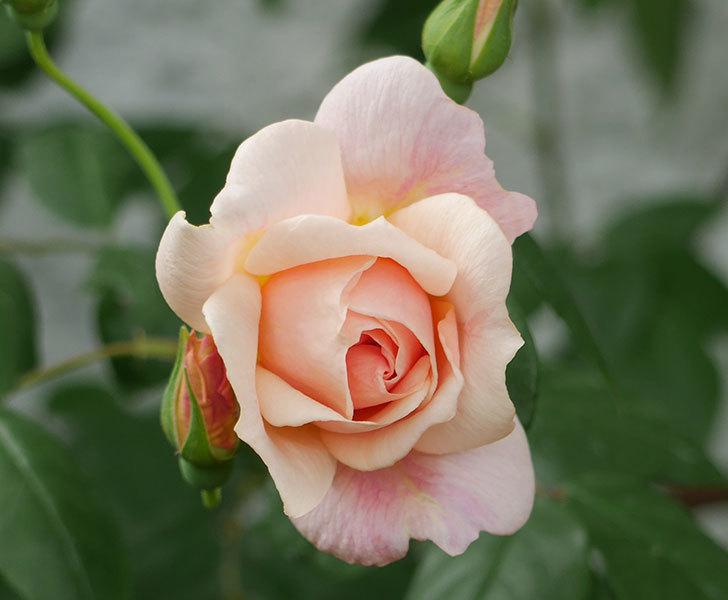 ロココ(ツルバラ)が咲いた。2018年-5.jpg