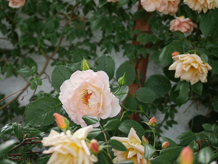 ロココ(ツルバラ)が咲いた。2018年-6.jpg