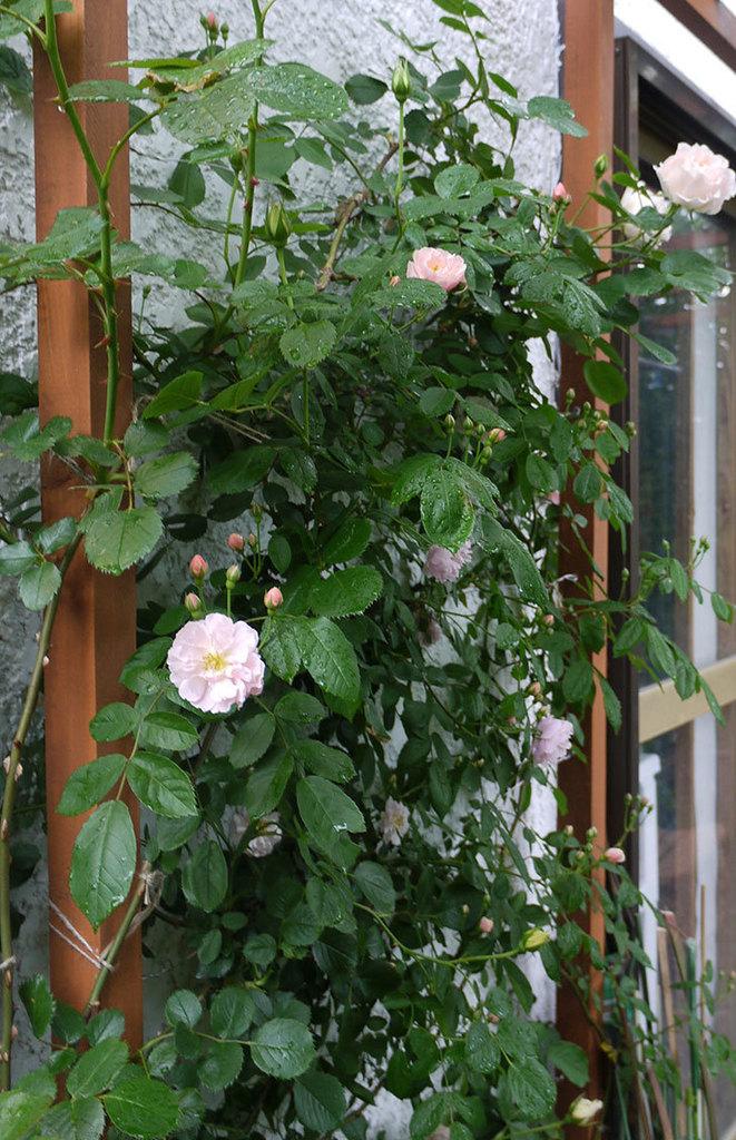 ロココ(ツルバラ)が綺麗に咲いた。2017年-10.jpg