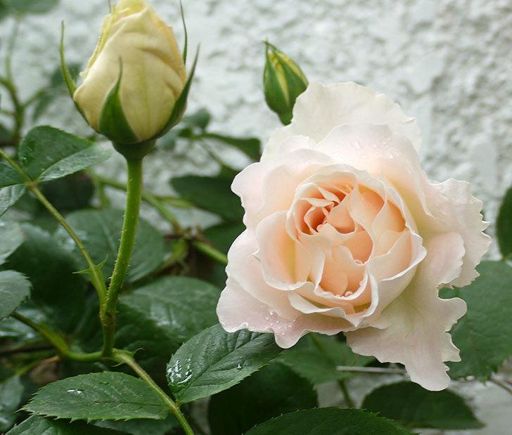 ロココ(ツルバラ)が綺麗に咲いた。2017年-11.jpg