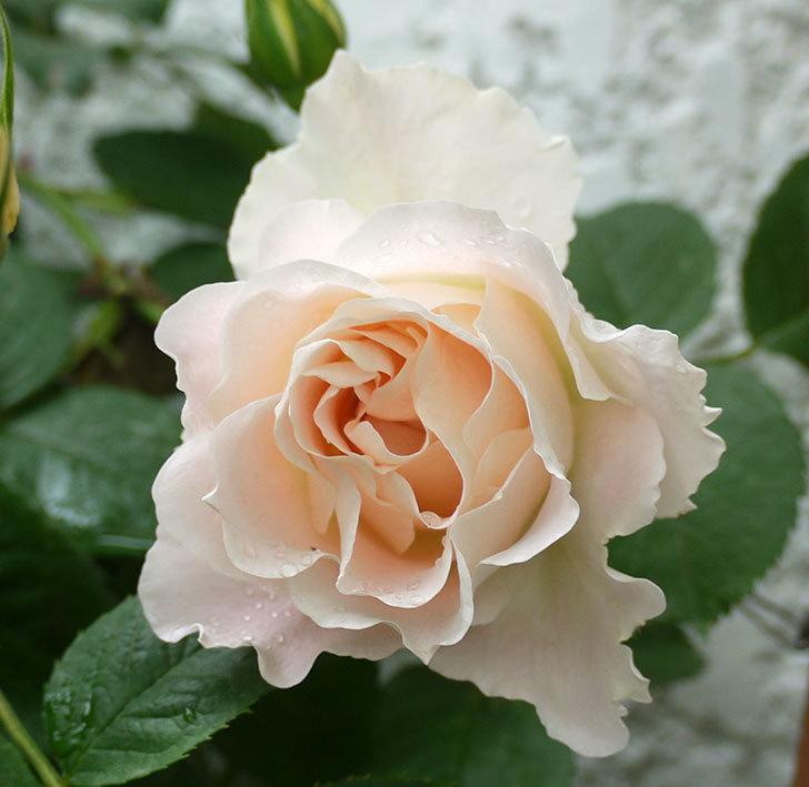 ロココ(ツルバラ)が綺麗に咲いた。2017年-12.jpg