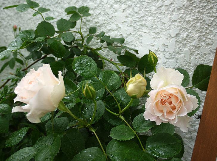 ロココ(ツルバラ)が綺麗に咲いた。2017年-13.jpg