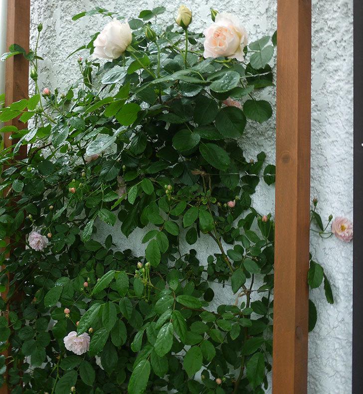 ロココ(ツルバラ)が綺麗に咲いた。2017年-14.jpg