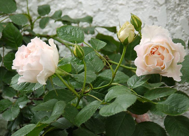 ロココ(ツルバラ)が綺麗に咲いた。2017年-2.jpg