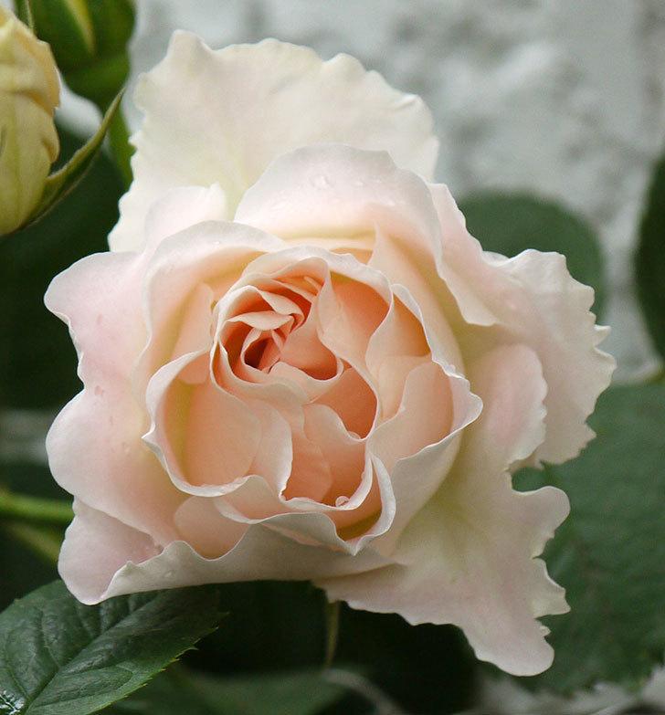 ロココ(ツルバラ)が綺麗に咲いた。2017年-3.jpg