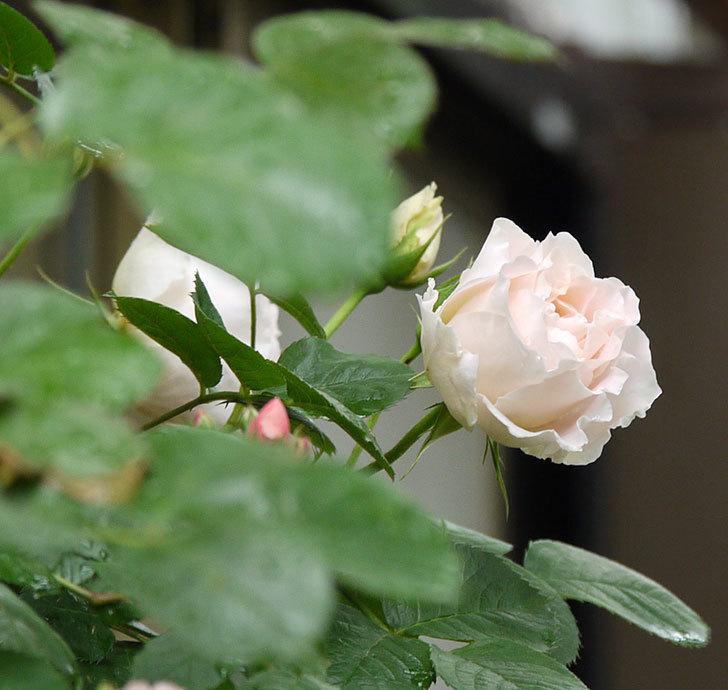 ロココ(ツルバラ)が綺麗に咲いた。2017年-6.jpg