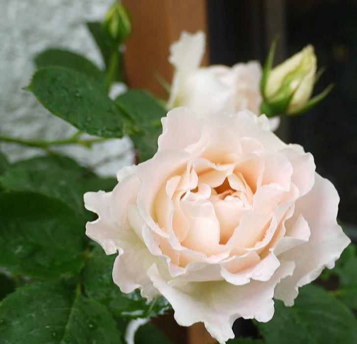 ロココ(ツルバラ)が綺麗に咲いた。2017年-7.jpg