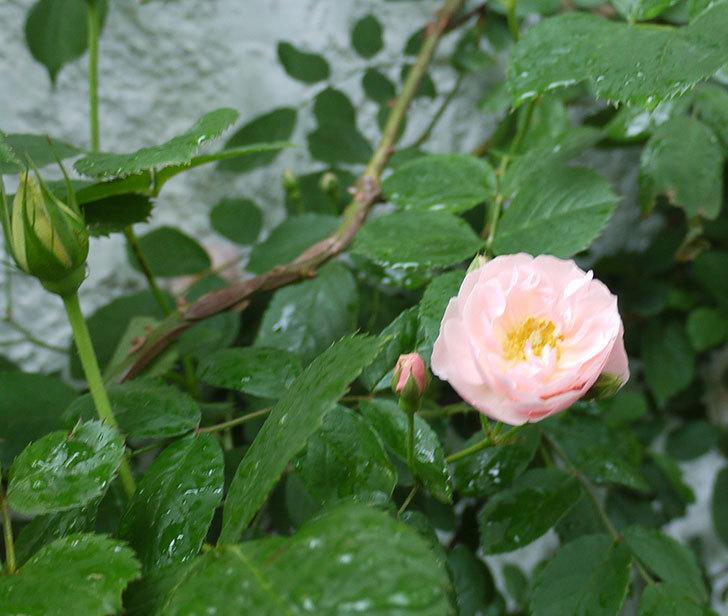 ロココ(ツルバラ)が綺麗に咲いた。2017年-8.jpg