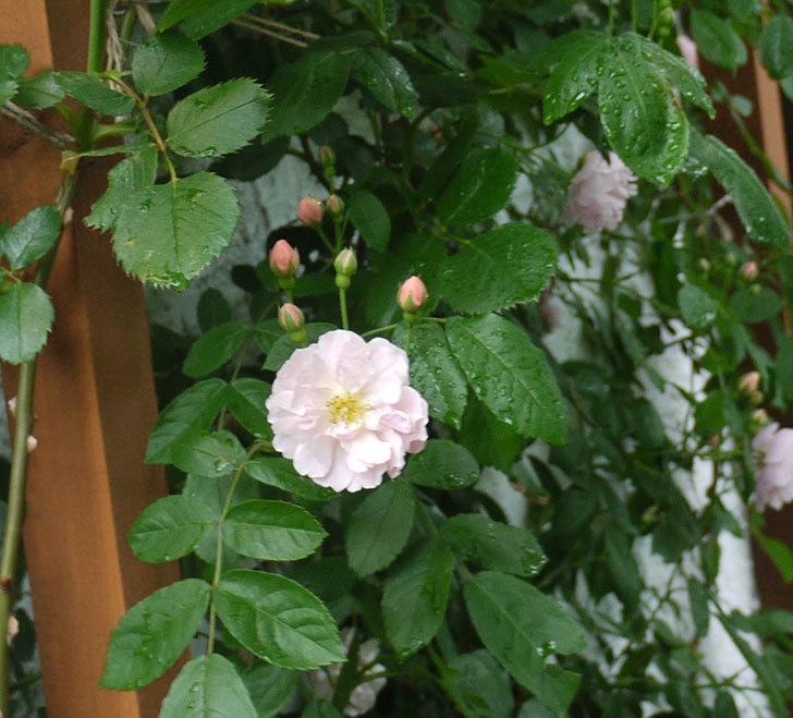 ロココ(ツルバラ)が綺麗に咲いた。2017年-9.jpg