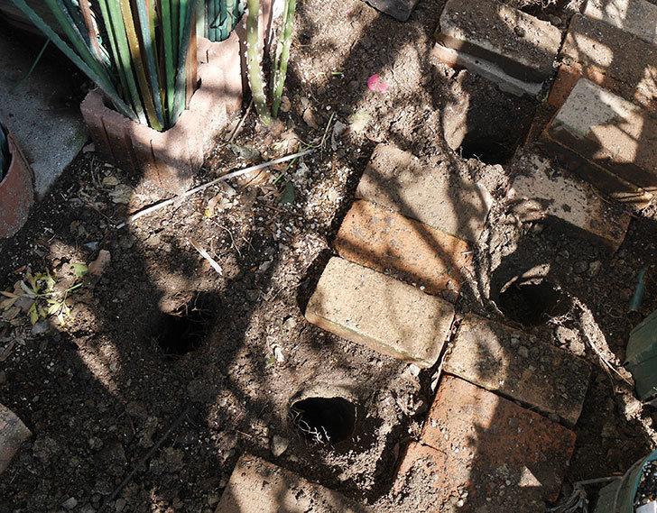 ロココ(ツルバラ)に寒肥を施した。2019年-1.jpg