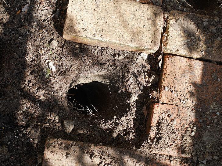 ロココ(ツルバラ)に寒肥を施した。2019年-2.jpg