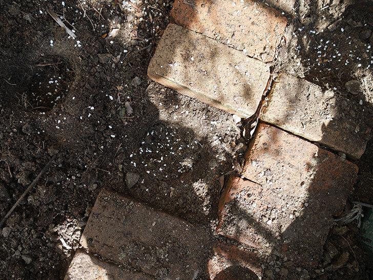 ロココ(ツルバラ)に寒肥を施した。2019年-4.jpg