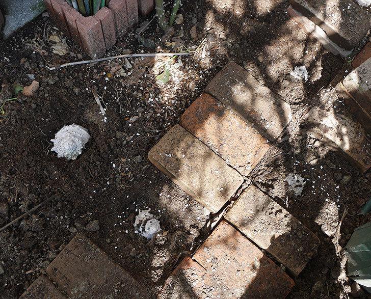 ロココ(ツルバラ)に寒肥を施した。2019年-5.jpg