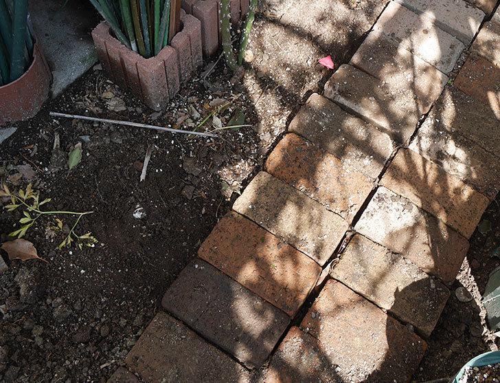 ロココ(ツルバラ)に寒肥を施した。2019年-7.jpg