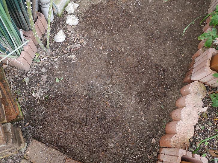 ロココ(ツルバラ)に寒肥を施した。2020年-3.jpg
