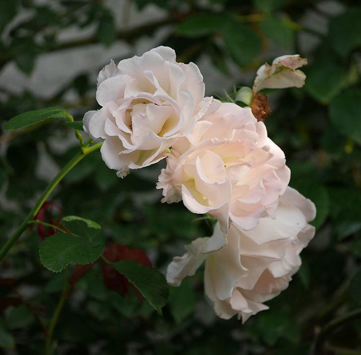 ロココ(ツルバラ)の2番花が咲いた。2019年-1.jpg