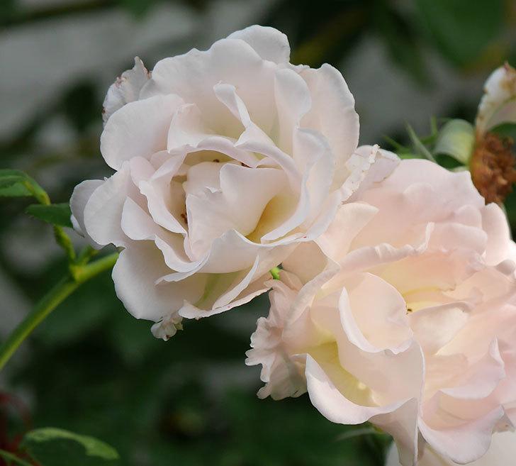 ロココ(ツルバラ)の2番花が咲いた。2019年-2.jpg