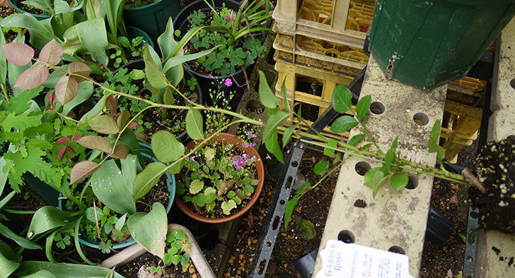 ロココ(ツルバラ)の新苗を6号ロングスリット鉢に植えた。2016年-2.jpg