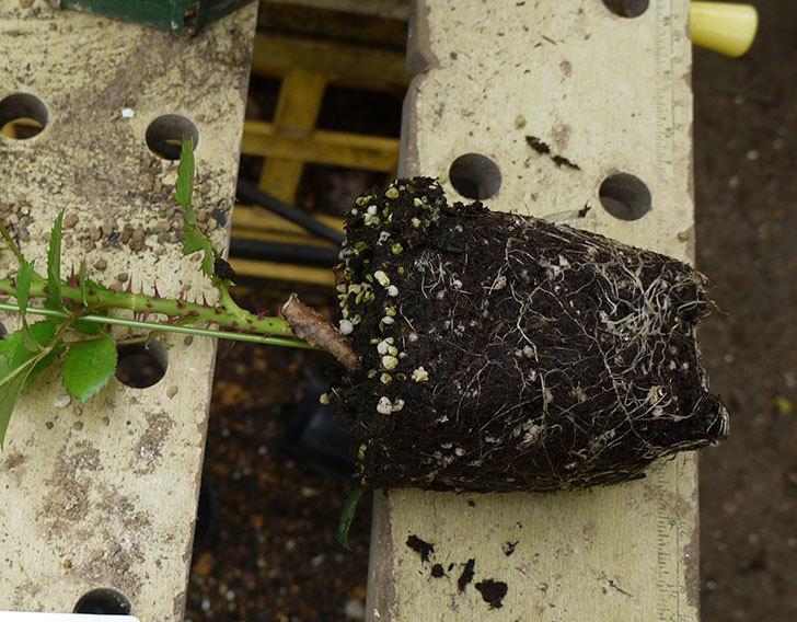 ロココ(ツルバラ)の新苗を6号ロングスリット鉢に植えた。2016年-3.jpg