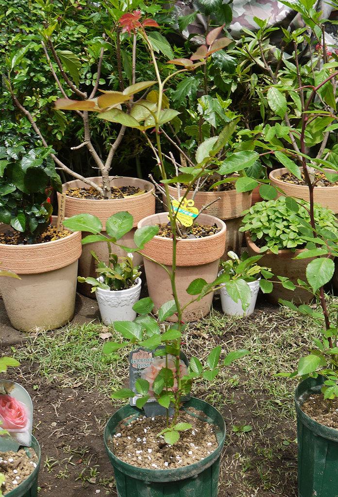 ロココ(ツルバラ)の新苗を6号ロングスリット鉢に植えた。2016年-6.jpg