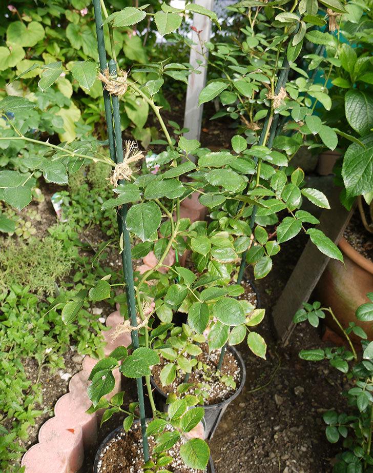 ロココ(ツルバラ)の新苗を8号のEUロングスリット鉢に鉢増しした。2016年-7.jpg