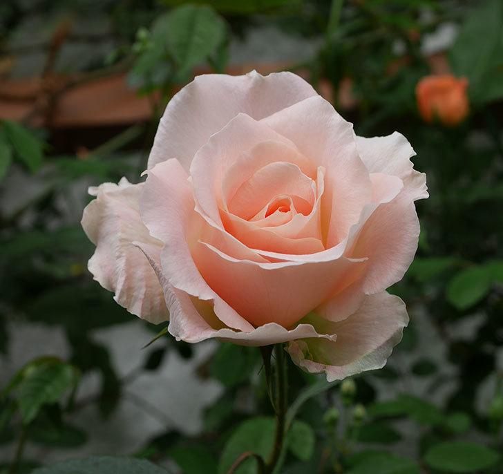 ロココ(ツルバラ)の花が咲いた。2019年-1.jpg