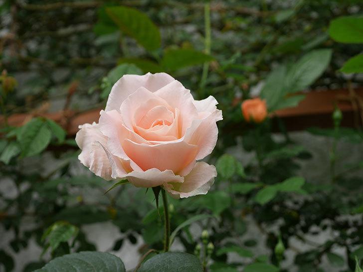 ロココ(ツルバラ)の花が咲いた。2019年-2.jpg