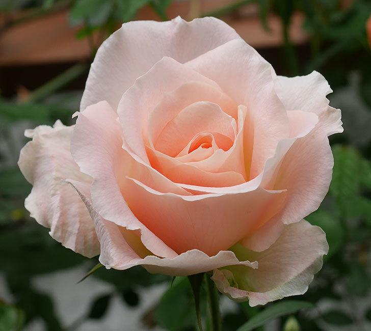 ロココ(ツルバラ)の花が咲いた。2019年-3.jpg