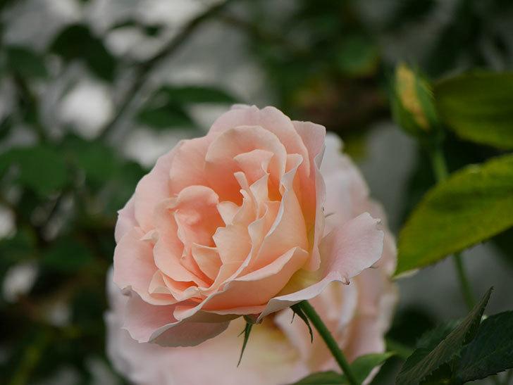 ロココ(ツルバラ)の花が咲いた。2020年-006.jpg