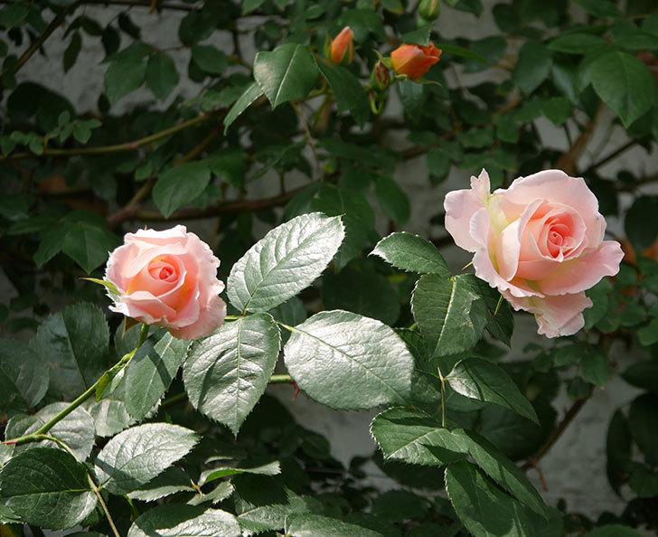 ロココ(ツルバラ)の花が増えて来た。2019年-1.jpg