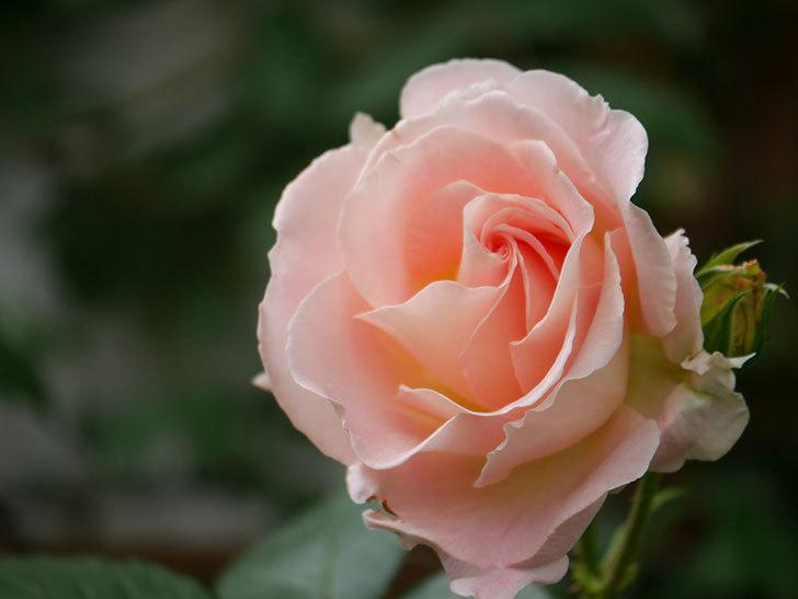 ロココ(ツルバラ)の花が増えて来た。2019年-10.jpg