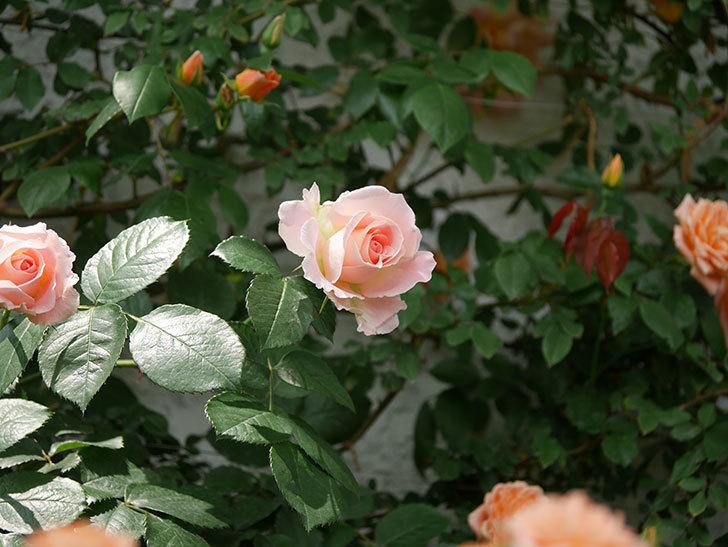 ロココ(ツルバラ)の花が増えて来た。2019年-11.jpg