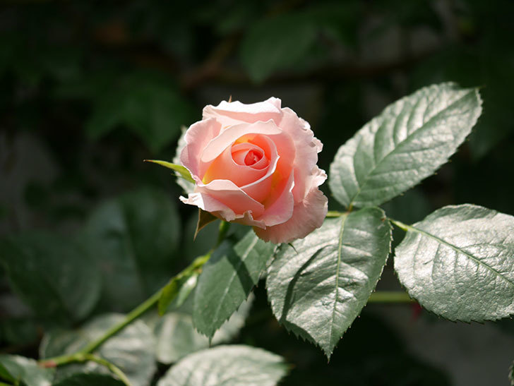 ロココ(ツルバラ)の花が増えて来た。2019年-12.jpg