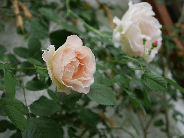 ロココ(ツルバラ)の花が増えて来た。2019年-13.jpg