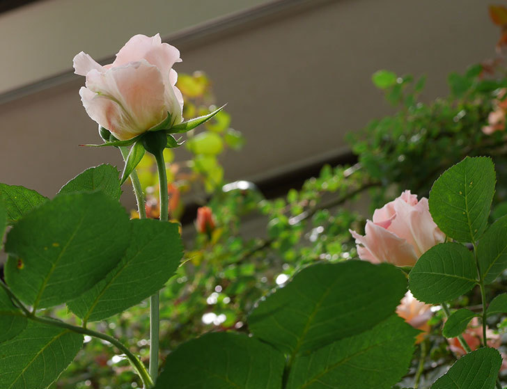 ロココ(ツルバラ)の花が増えて来た。2019年-14.jpg