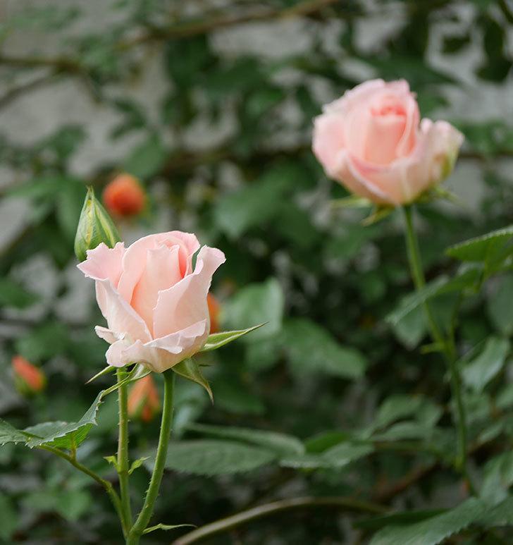 ロココ(ツルバラ)の花が増えて来た。2019年-2.jpg
