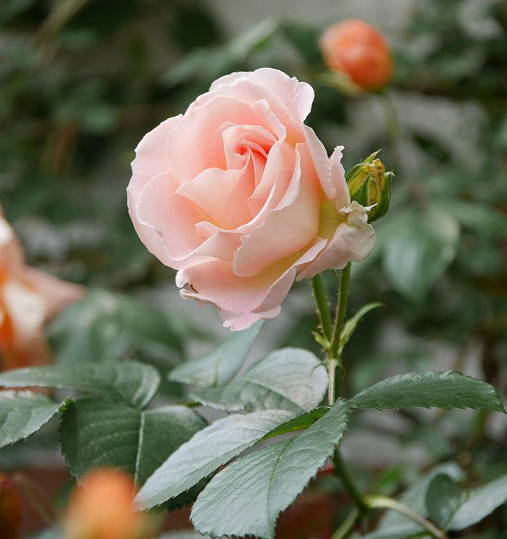 ロココ(ツルバラ)の花が増えて来た。2019年-3.jpg