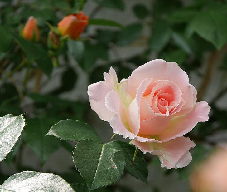 ロココ(ツルバラ)の花が増えて来た。2019年-4.jpg