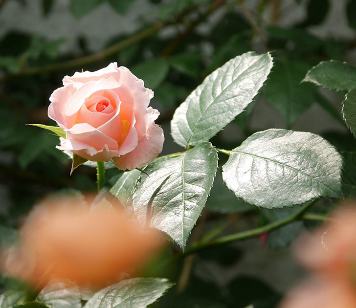 ロココ(ツルバラ)の花が増えて来た。2019年-5.jpg