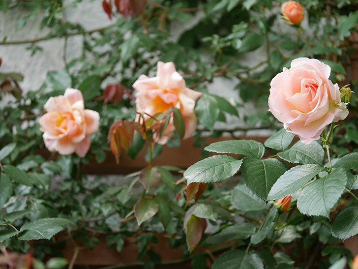 ロココ(ツルバラ)の花が増えて来た。2019年-6.jpg