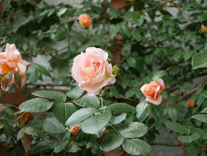 ロココ(ツルバラ)の花が増えて来た。2019年-7.jpg