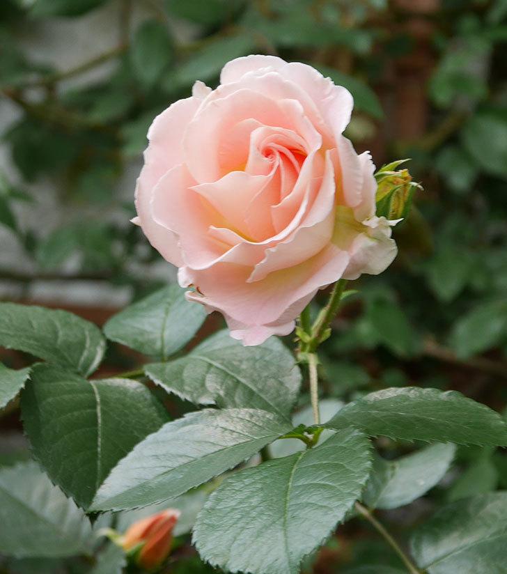 ロココ(ツルバラ)の花が増えて来た。2019年-8.jpg