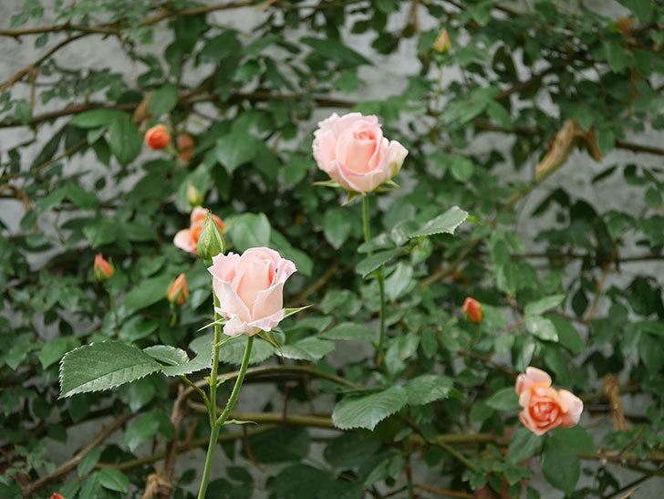 ロココ(ツルバラ)の花が増えて来た。2019年-9.jpg