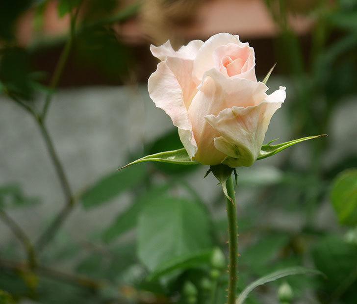 ロココ(ツルバラ)の花が少し咲いた。2019年-1.jpg