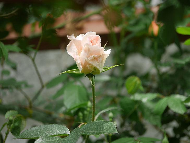 ロココ(ツルバラ)の花が少し咲いた。2019年-2.jpg