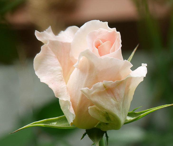 ロココ(ツルバラ)の花が少し咲いた。2019年-3.jpg