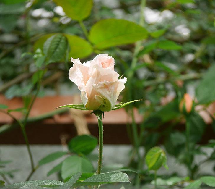 ロココ(ツルバラ)の花が少し咲いた。2019年-4.jpg