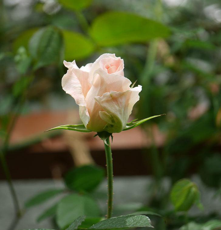 ロココ(ツルバラ)の花が少し咲いた。2019年-5.jpg